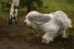 Polish Lowland Sheepdog is world famous cattle sheep protectors . One of the best sheep dogs. Dog Photos, Dog Pictures, Sheep Dog Puppy, Sheep Dogs, Fear Of Dogs, Polish Lowland Sheepdog, Animals And Pets, Cute Animals, Dog Breeds List