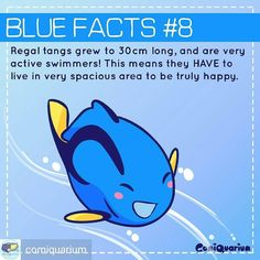 """Repost from @comiquarium -  Fully grown regal tangs gets large! If you don't have big enough space please don't try keeping them. Sure you could say """"buy a small one"""" but once they settle in the tank they grow fast and will be hard to capture. In your opinion what is their minimum tank size? #comiquarium #bluefacts #regaltang #hippotang #bluetang  #palettesurgeonfish #fish #marinefish #dory #findingdory #nemo #fishofinstagram #educational #Regrann #Brightwellaquatics"""