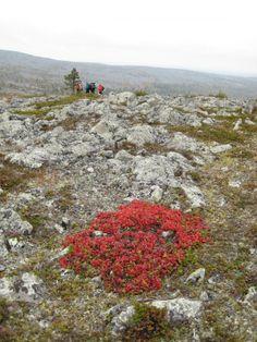 Fall colors of Aakenus, Pallas-Yllästunturi National Park in Lapland of Finland. Photo: Geavvu / Luontoon.fi