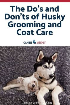 Taking care of a husky's coat isn't always a case of common sense. Knowing what not to do is essential, too. Click here to find out The Do's and Don'ts of Husky Grooming and Coat Care. #canineweekly #doggroomingtips #coatcarefordogs