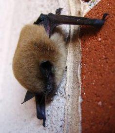chauve souris - pipistrelle  Petit guide de détermination des chauve souris...  Comment reconnaître les espèces de chauves souris