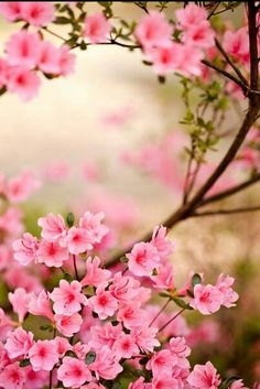 Cherry Blossom Wallpaper... By Artist Unknown...
