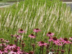 Echinacea met veronicastrum v album
