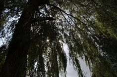 Willow Tree in our front yard