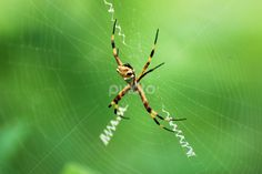 by Dorothy Turnbull - Animals Insects & Spiders ( web weaver, yellow orb, dojo photo dorothy & john turnbull photography, female orb, web, ocean, yellow, beach, panama, orb, spinning web, dorothy turnbull, arachnid, female spider, spider, arachnophobia, dojo photo )