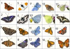 Can you name the British Butterflies (pictures)? Test your knowledge on this science quiz to see how you do and compare your score to others. Quiz by spikeharby Names Of Butterflies, British Bees, Science Today, Butterfly Species, Sting Like A Bee, Float Like A Butterfly, Butterfly Pictures, 1 Tattoo, British Wildlife