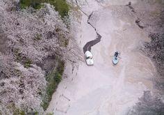 井の頭公園にある井の頭池にできた桜の花いかだ=東京都三鷹市で2016年4月8日午前10時1分、本社ヘリから