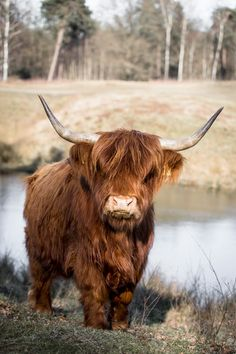 Photography - Scottish Highlanders at Boswachterij Dorst - Fotografille - Pretty Animals, Cute Baby Animals, Farm Animals, Animals Beautiful, Animals And Pets, Highland Cow Art, Scottish Highland Cow, Highland Cattle, Cute Baby Cow