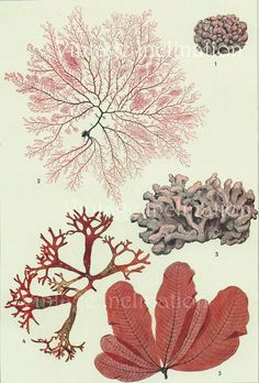 vintage biological seaweed and coral pictures - Google Search