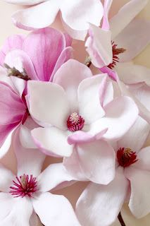 Most Beautiful Pink Flowers with Pictures Amazing Flowers, My Flower, Pink Flowers, Flower Power, Beautiful Flowers, Paper Flowers, Magnolia Trees, Magnolia Flower, Sweet Magnolia