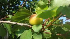 #apricot #garden #stroll #Portoercole #Argentario #Tuscany #Italy