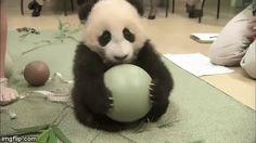 抱きかかえたボールを断固として離さない赤ちゃんパンダ可愛すぎるだろw(´∀`)