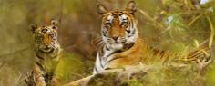welcome to wild life tour of Odisha, tiger on the show