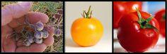A la izquierda: Tomate pasa (Solanum pimpinellifolium ) ancestro del tomate moderno -  Al centro: Tomate pomodoro, los primeros llegados a Europa   A la derecha: Tomate actual (Solanum lycopersicum).