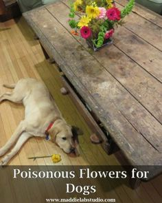 Everyone loves a bouquet of flowers. But, our adventurous Lab who likes to chewing on anything made us look up which common bouquet flowers are poisonous to dogs. Do you know which ones to look out for?
