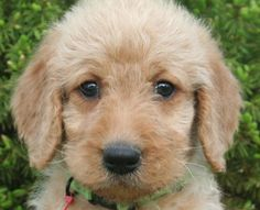 DOUBLE DOODLE. mixed labradoodle and goldendoodle. I look into these eyes and I see LOVE #emm