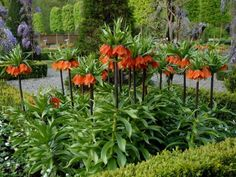 Bell-shaped blossoms dangle beneath a tuft of leaves to add a striking, unusual form to the garden. Fritillaria imperialis grows 36 to 48 inches tall and bloom in mid-spring. Lay the hollow-centered bulbs on their sides when planting. Landscape use: Plant in groups of five or more for greatest impact. Hardy in Zones 5 to 8.