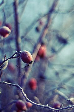 Rosehips can persist into winter and provide food for birds - try native Pasture…