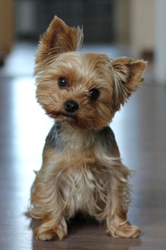 Nice yorkshire terrier dog Nice yorkshire terrier dog Source by The post Nice yorkshire terrier dog appeared first on Coulson Puppies. Yorkshire Terrier Haircut, Yorkshire Terrier Puppies, Terrier Dogs, Scottish Terrier Puppy, Irish Terrier, Cute Teacup Puppies, Cute Puppies, Cutest Small Dog Breeds, Biewer Yorkshire