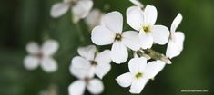 Cut Flowers, White Flowers, Pastel Shades, Horticulture, Spring Time, Gardening Tips, Garden Design, Things To Do, Wildlife