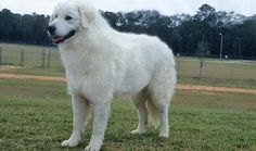 The Kuvasz is a large, white flock-guarding dog who hails from Hungary. A one-family dog, he's protective of his people and suspicious of strangers. The Kuvasz thinks for himself and can be challenging to train Best Guard Dogs, Best Dogs, Guard Dog Training, Training Tips, Most Beautiful Dog Breeds, Herding Cats, Huge Dogs, Farm Dogs, Most Popular Dog Breeds