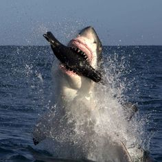 A great white shark breaches the ocean as it hunts in False Bay, South Africa. This lethal 20 foot long leaping shark may look like it has made a spectacular kill - but no seal was hurt during the shooting of these pictures. Michael Rutzen, from Kleinbaai, South Africa used a five foot-long foam and fibreglass dummy seal tied to his boat to lure the sharks out of the water.