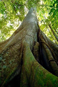 Deep roots: Samaúma, Queen of the Amazon rainforest.