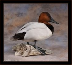 canvasback-stand
