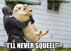 Click here to watch daily fun : ===>>> http://ift.tt/1LYuIm1  fun funny joke jokes funny humor funny gif funny picture funny jokes funny videos funny video. A pig that is is a bad rap with a cop.
