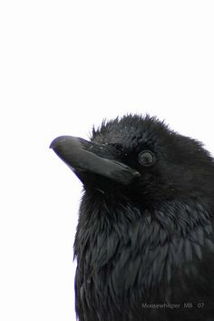 Ravens, corvids and the occasional crow