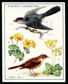 """Player's Cigarettes  """"A Nature Calendar"""" (series of 24 large cards issued in 1930) #8 April (2)"""