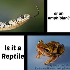 The Study of Animals Part 8: Is It A Reptile Or An Amphibian? - Enchanted Homeschooling Mom