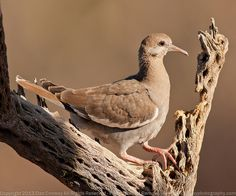 Funny Wildlife, Immature White-winged Dove by Dan W Conway on...