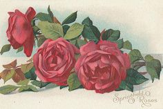 Red Springfield, O. Vintage Flower Prints, Vintage Flowers, Vintage Floral, Vintage Art, Vintage Graphic, Flower Images, Flower Art, Vintage Postcards, Vintage Images