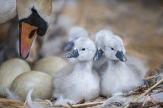 Mute Swan & Cygnets by Jacky Parker on 500px