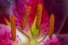 #Amazing #photograph of a #loaded with #pollen #Lily.