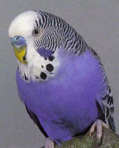 The color ... WOW ... looks just like my Skippy.  He was quite an amazing parakeet.  Dad trained him and he could talk, sing 'Polly Wolly Doodle' and do some tricks too! He was a great companion and lived to be 13!  Bless you little birdy buddy!