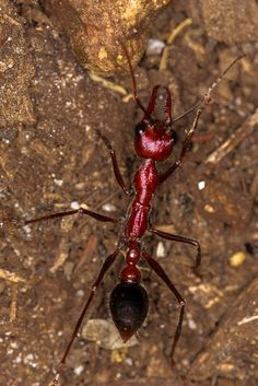 ˚Bull Ant
