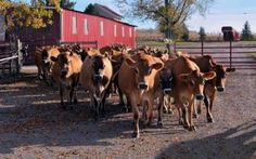 The cutest cows in Ohio head out to graze at Wise Acres Farms.