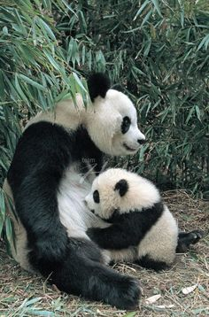 This is a selection of some of the most amazing Panda photographs out there. Will definitely make you to want to become a Panda yourself! most of them from the Panda Research Base in Chengdu. Large Animals, Cute Baby Animals, Animals And Pets, Funny Animals, Wild Animals, Panda Love, Cute Panda, Baby Panda Bears, Baby Pandas