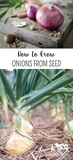 How to Grow Onions from Seed I've been growing my onions from seed for many years now and have learned a lot in the process. They're not really the easiest thing to grow from seed, nor are they the hardest. There is quite a bit of management that goes into starting onions from seed, but it's a process I will always go through for one simple reason.