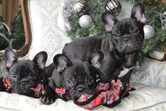 Christmas babies..Zvonko, Victor & Rogue. Chambord French Bulldogs , french bulldog, puppies, objectform-life.com