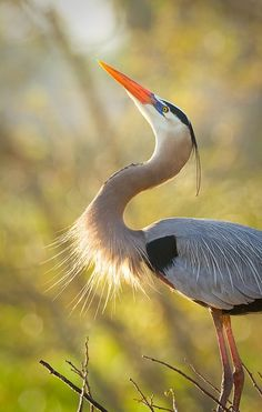 A Great Blue Heron putting on his best display with the hopes of finding female companionship Pretty Birds, Beautiful Birds, Animals Beautiful, Nature Animals, Animals And Pets, Blue Heron, Exotic Birds, Wild Birds, Bird Watching