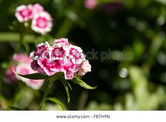 Stock Photo - flowers, flower, pink, white, nature, focus, drop water, environment @alamy