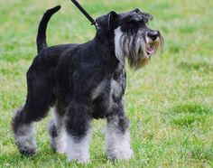 Tips on How to Potty Train a Mini Schnauzer