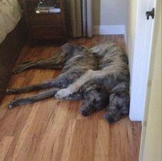 Brothers ❤️ Jack (15 mos) & Goji (11 mos), Irish Wolfhounds