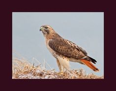 Red tailed hawk bird photograph 5 x 7 by onthewingbirdphotos
