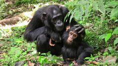 Great apes communicate cooperatively