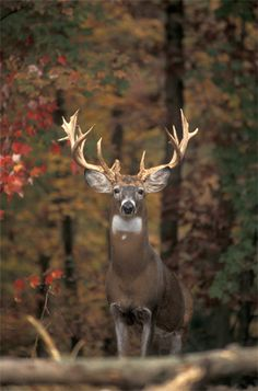 Majestic buck. #Whitetail #Deer