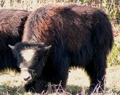 Our Yak Herd | Grass Fed Beef|Matheson Farms Animal Alphabet, Grass Fed Beef, Farms, Horses, Animals, Homesteads, Animales, Animaux, Animal